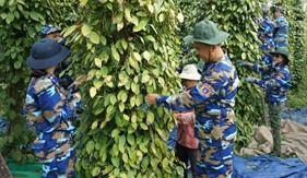 Nỗ lực giúp dân thu hoạch hồ tiêu